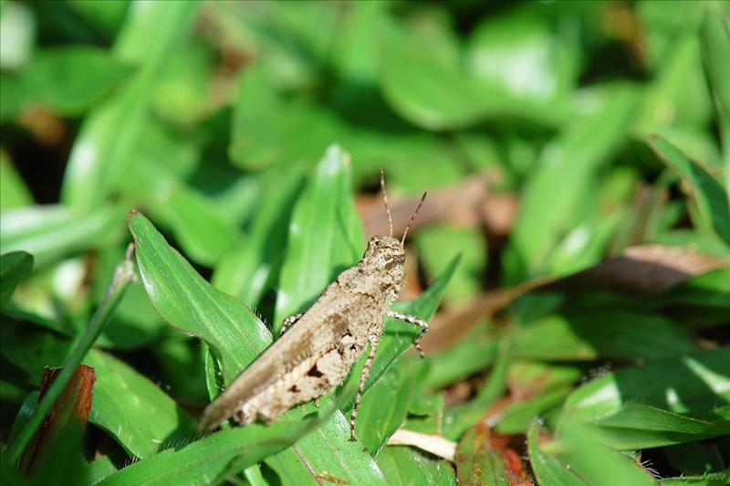 疣蝗Trilophidia annulata