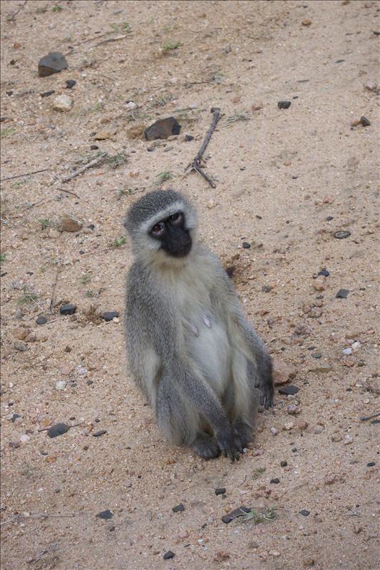 Vervet Monkey / Vervet