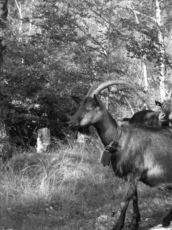 capre•Piemonte•2009