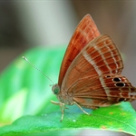蛇目褐蜆蝶 Abisara echerius
