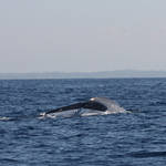 Blue whale tail slap