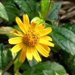 Tithonia diversifolia假向日葵
