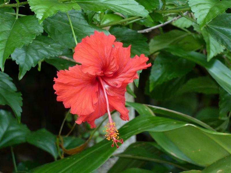 hibiskus-narodowy kwiat malezji