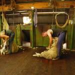 Schafsarbeit01.JPG