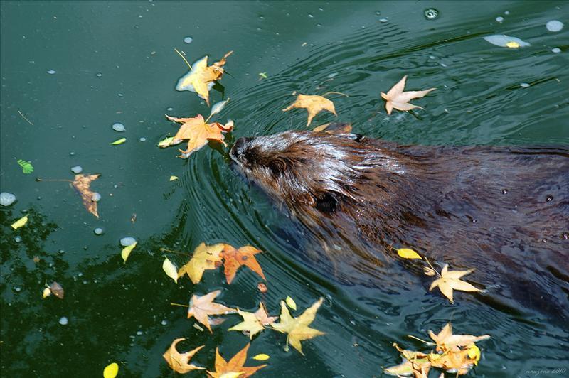 加拿大河狸 American Beaver
