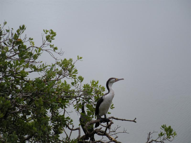Cormorants nesting in the mangrove swamps