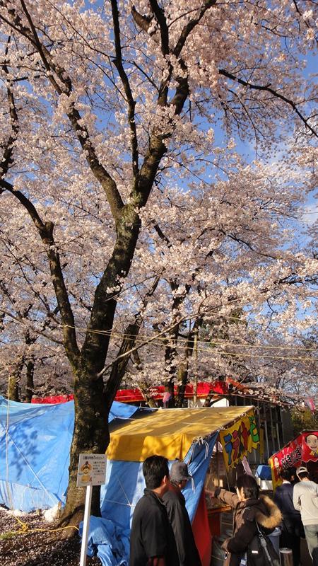 櫻花正滿開
