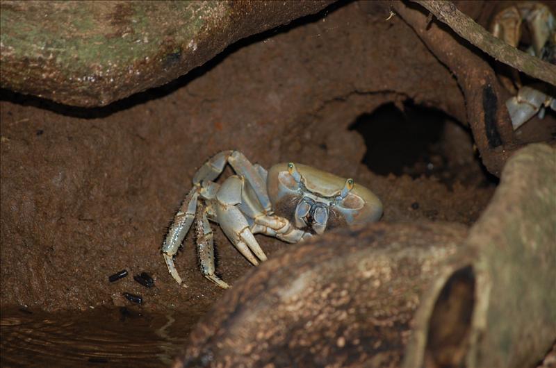 land crab.JPG