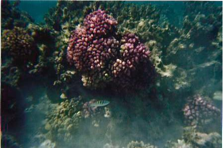 PURPLE CORAL, FISH, IN MORREA
