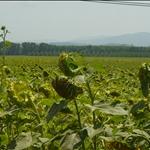 Sunflowers Toscany