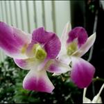 島頭公園蘭花
