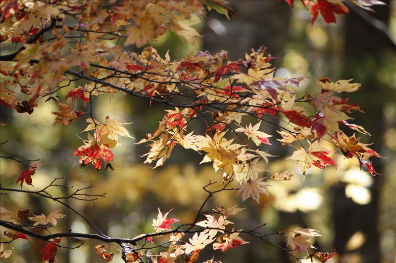 漫步奧入瀨溪流賞楓