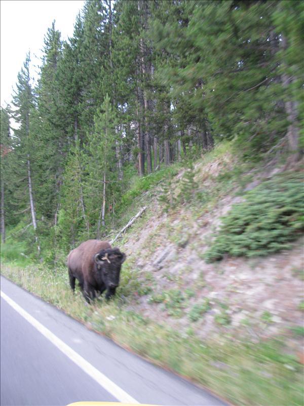 Buffels op de weg