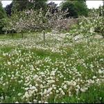 Dandelion Orchard