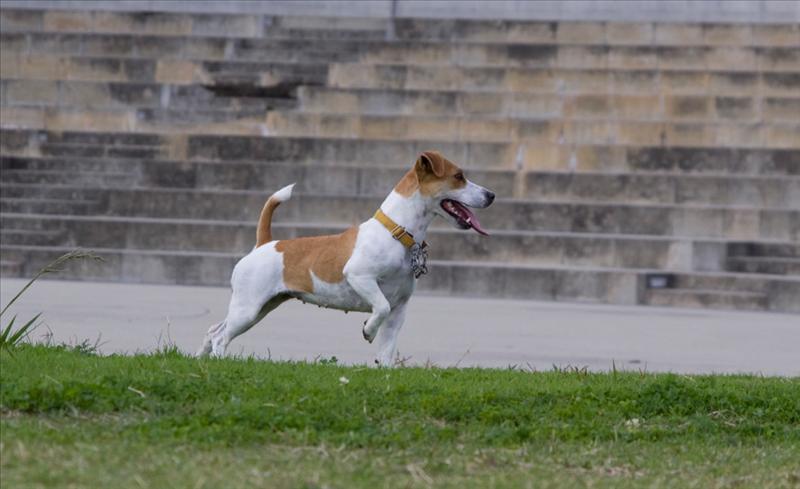 Kobe dog