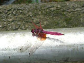 紅蜻蜓.MOV
