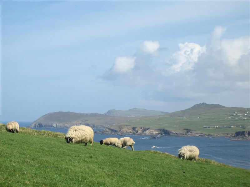 Ewe!  not sheep on the Dingle Penisula