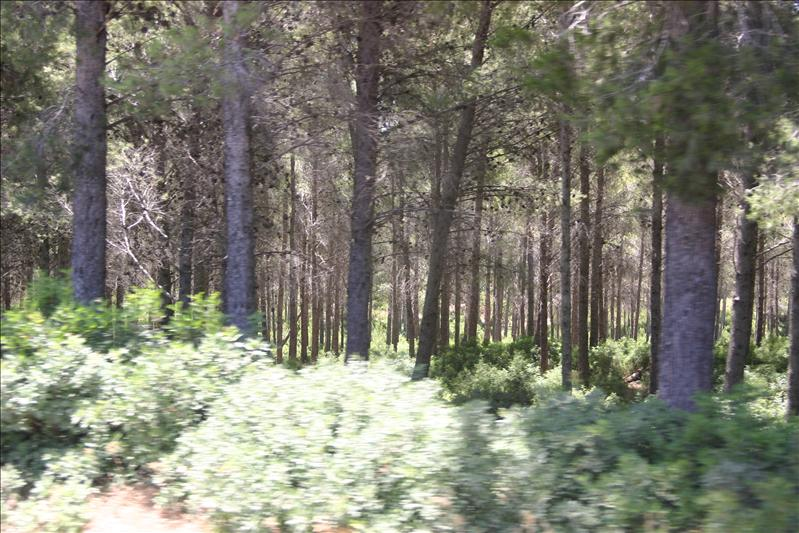Ancient Pine Forests