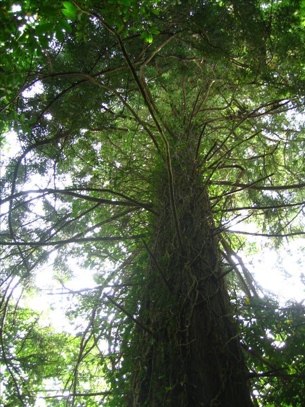 Redwoods in Ireland
