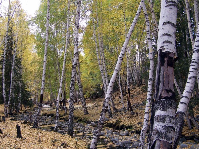 Birch trees, Hemu, Xinjiang