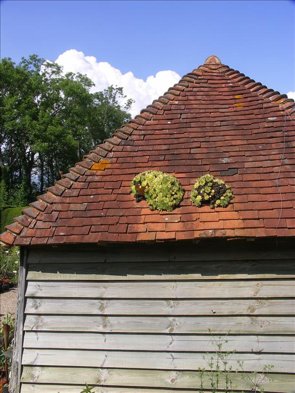 Sempervivums on the roof