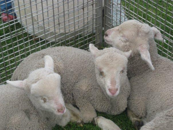 Adorable little lambs!!! They were so soft and sweet!!