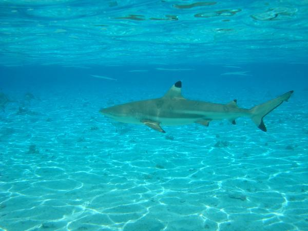 black tip shark that we swam with