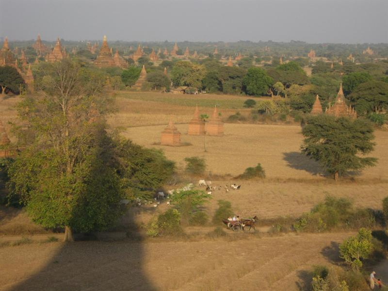 goats wondering on the plains of Bagan