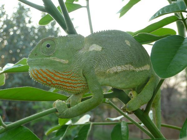 cute... helmeted chameleon