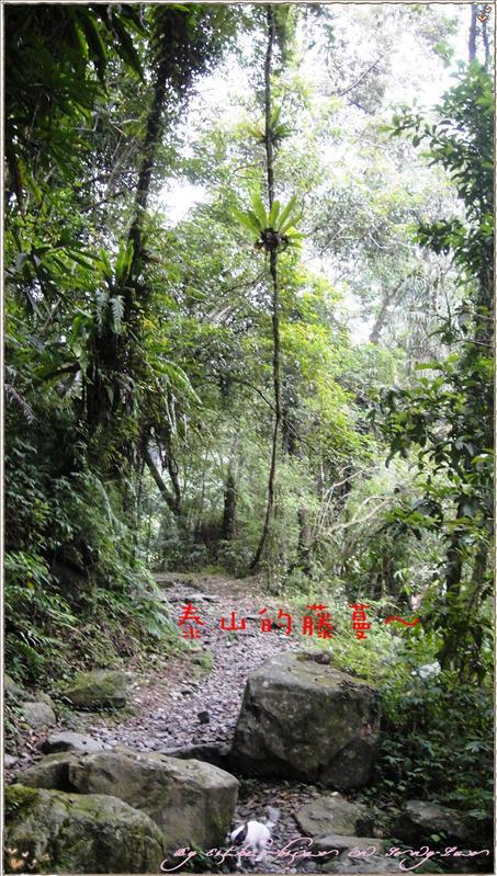 驚見泰山的藤蔓