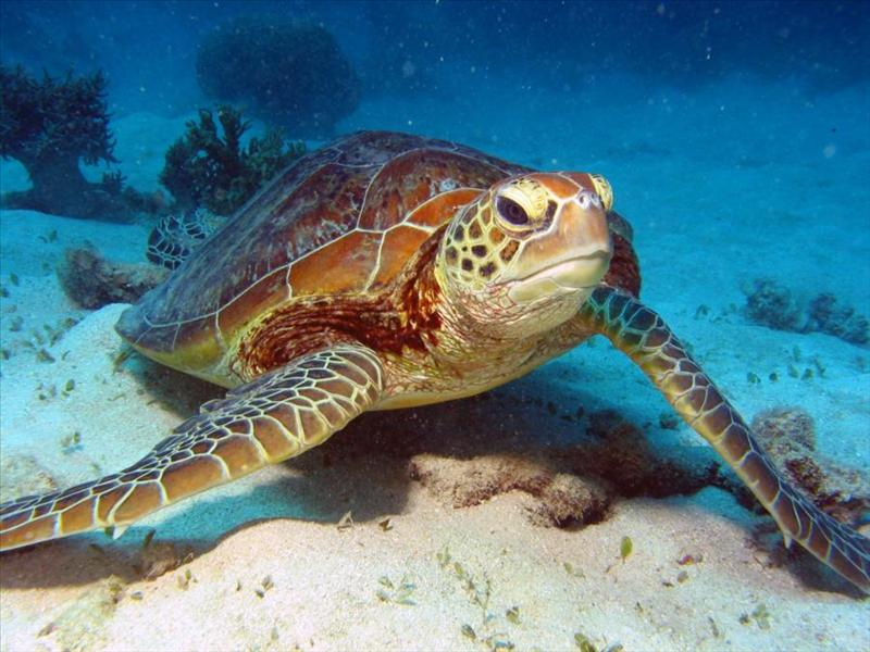 Turtle, Great Barrier Reef.
