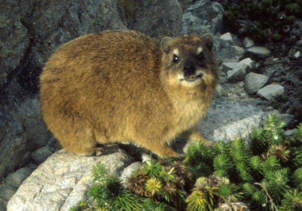 ROCK HYRAX, TABLE MOUNTAIN, SA - MAY - A CUTE CRITTER