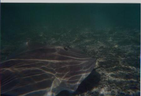 UNDERWATER SHOT OF MY FRIEND, THE STINGRAY,MORREA