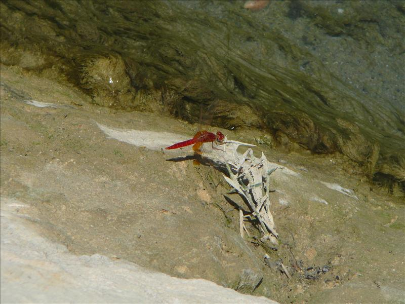 Siwa - Orange libelle
