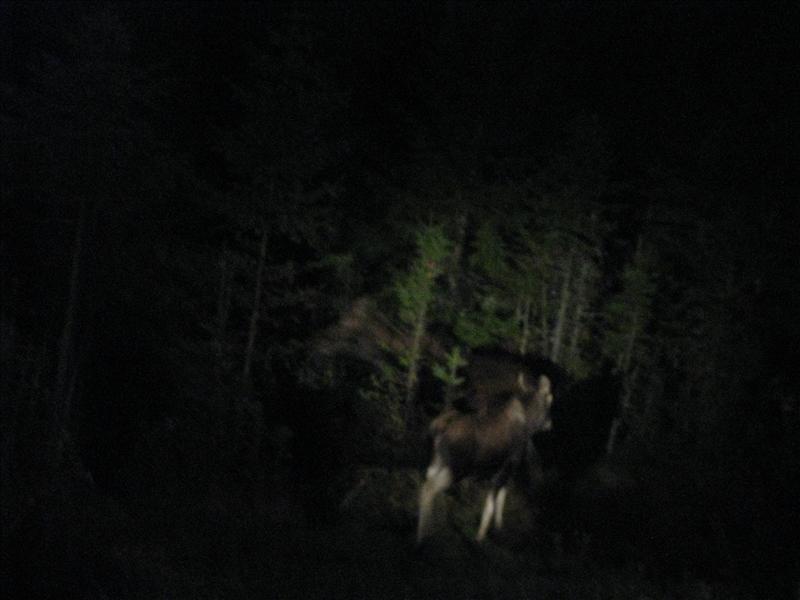 Moeder Moose met kalf!!!