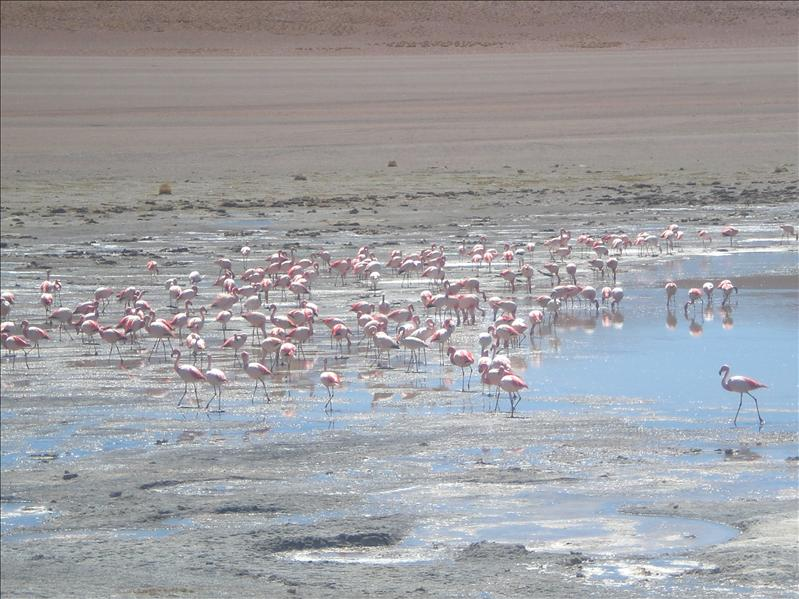 Volcanic lagoon with Flamingos
