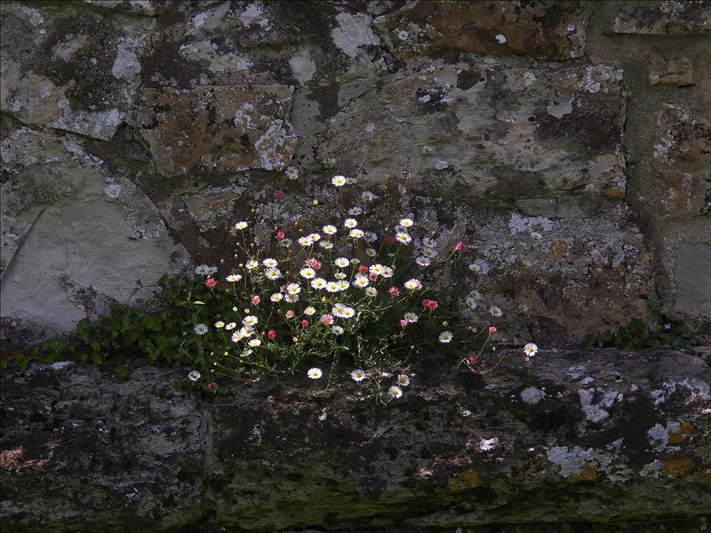 Daisies on a wall