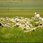 休憩的绵羊