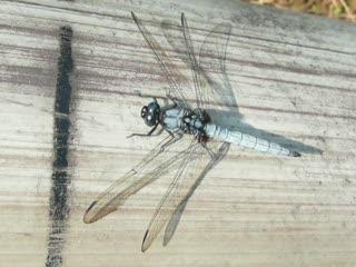 淡藍色蜻蜓 1.MOV