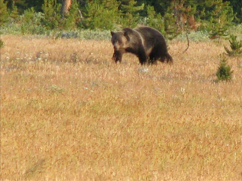 grizzly's hebben een bochel en rondere neus, zo zie je het verschil met bruine beren. Ze worden ook veel groter, vooral in het noorden