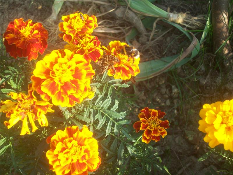 These flowers look like theyre on fire! Check out the bee!