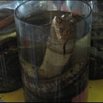 Cobra Snake in an Jar Laos 2008