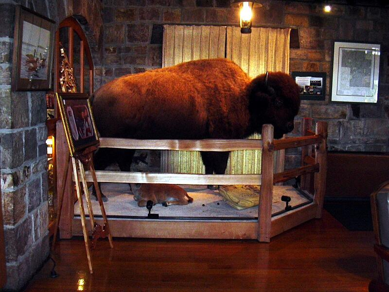 the poor buffalo that roamed our great plains