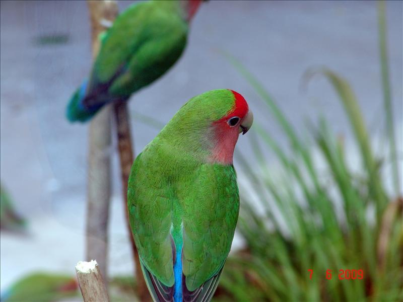 parrot 鹦鹉 (上海动物园)