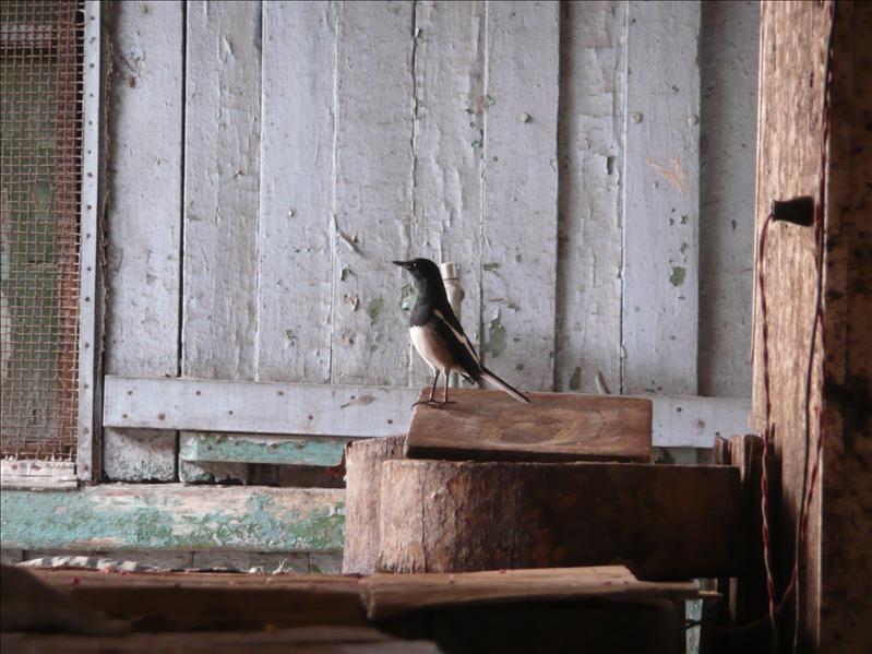 在傳統市場逗留的鳥兒