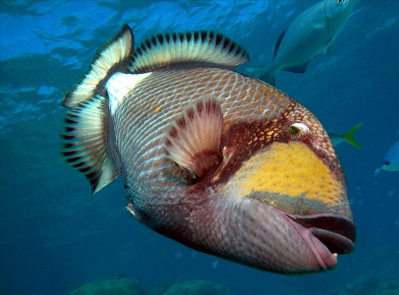 Titan Triggerfish - Great Barrier Reef.