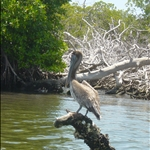 Pelican in the mangrove