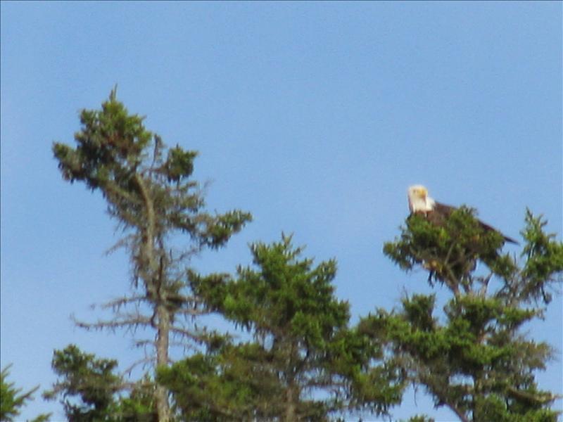 bald eagle II!