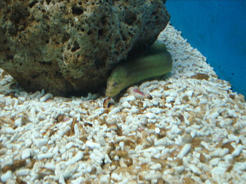 "Fibrated moray or ""malibanos"""