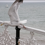 seagul1.JPG